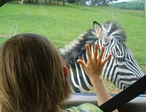 Hey Zebra!  Hi!